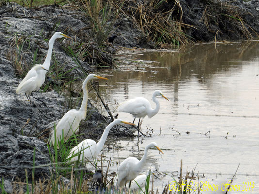 A GROUP OF GREAT EGRETS