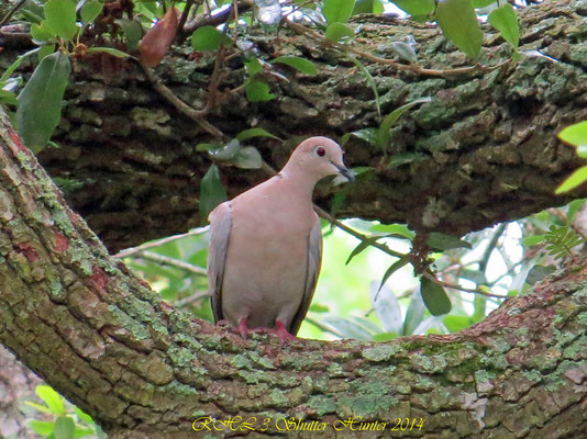 EURASIAN COLLARED-DOVE (RING-NECK DOVE)