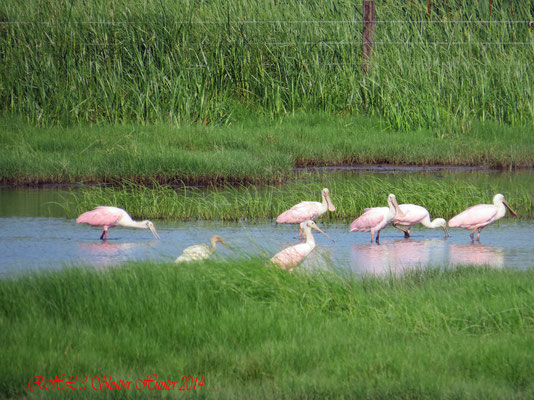 A GROUP OF ROSEATE SPOONBILLS