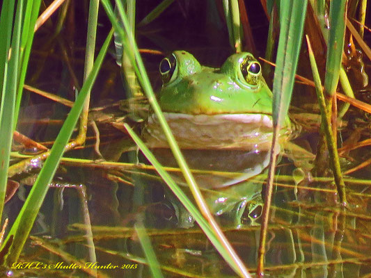 BULL FROGS ARE REAL ABUNDANT ON THE RANCH AND CAN BE HEARD AND SEEN PRETTY OFTEN.