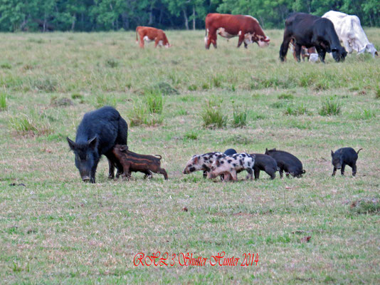 DOMESTICATED WILD HOGS WITH BABY PIGLETS