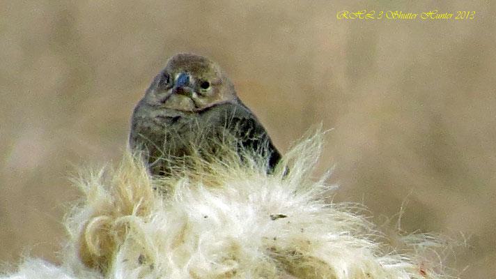 COWBIRD RESTING ON A BULL'S HEAD