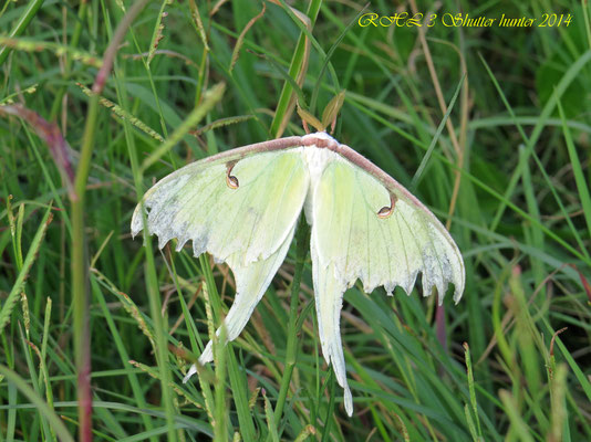 ALL TYPES OF SPECTACULAR INSECTS LIKE THIS LUNAR MOTH