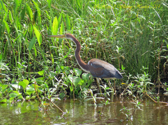 REDDISH EGRET (DARK-MORPH ADULT)