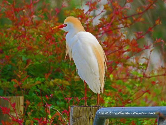 A GORGEOUS SHOT OF A CATTLE EGRET AMONG SOME DEWBERRY VINES.