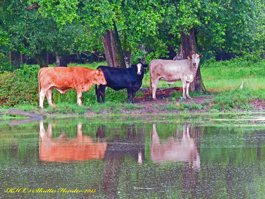 A COUPLE OF YEARLING REPLACEMENT HEIFERS STANDING BY A POND JUST REFLECTING!