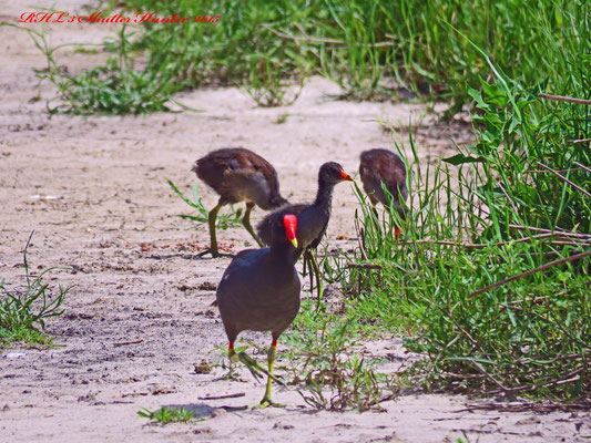 COMMON MOORHENS WITH THEIR BABIES ARE SEEN RUNNING ALL AROUND THIS SUMMER.
