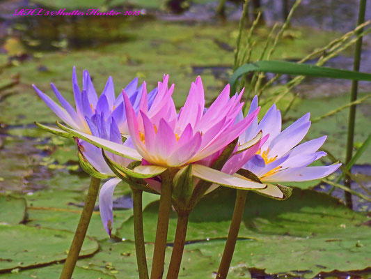 THESE COLORFUL LOTUS LILLYS ARE A GORGEOUS DISPLAY OF COLOR ACROSS THE WETLANDS ON THE RANCH.