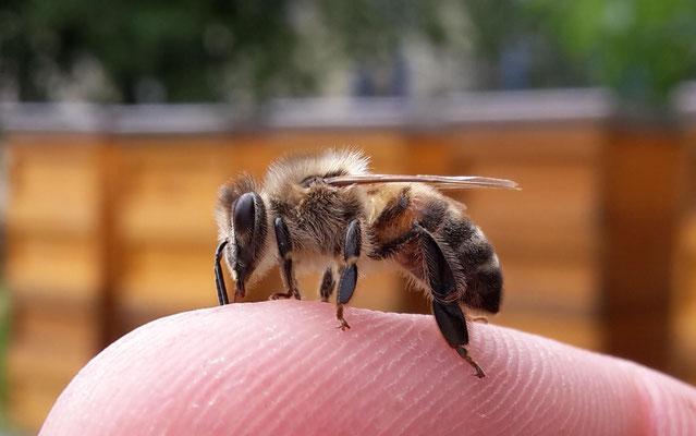Honigbiene auf Finger