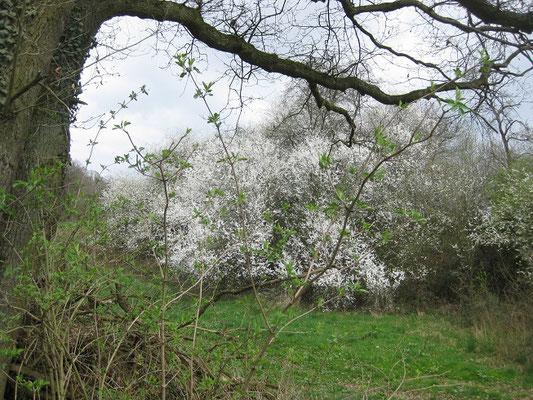 Dann sind sie überall wieder zu sehen: die Frühlingsboten! Blühende Sträucher, Bäume und Büsche. Der Winter ist jetzt (hoffentlich) wirklich vorbei.