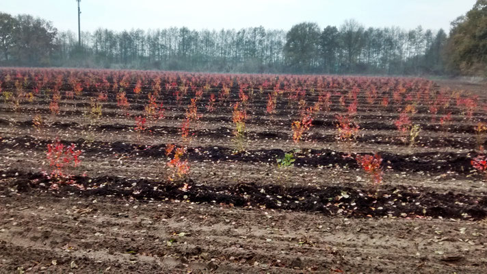 Herbstidylle im Blaubeerfeld