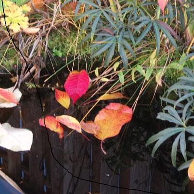 Blatt der Japankirsche mit seiner leuchtenden warmen Herbstfärbung