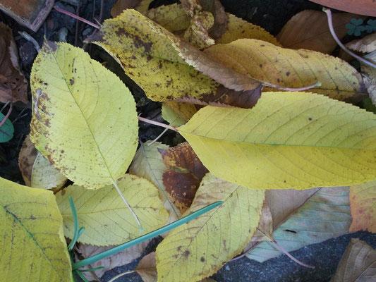Kirschbaumblätter in wunderschönen gelbtönen