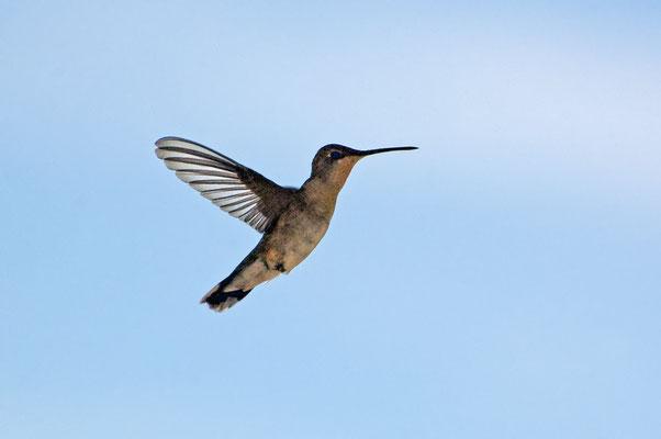 Schwarzkinnkolibri, Rockhound State Park