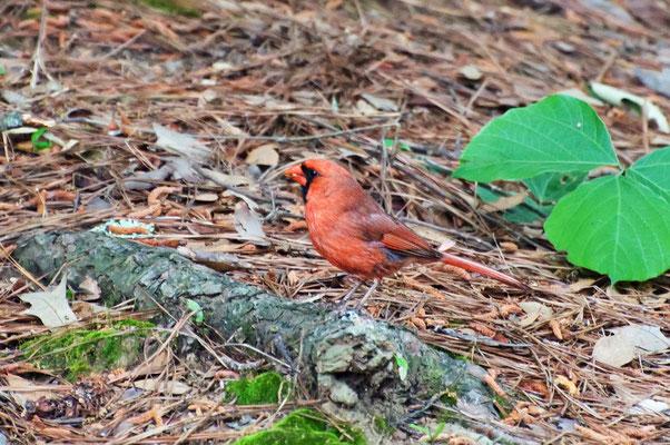Roter Kardinal ♂, High Falls State Park