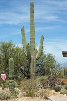 Giant Saguaro (Riesensäulenkaktus), Saguaro National Park (East)