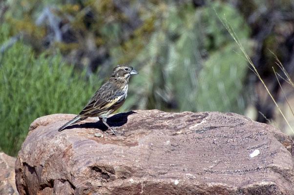 Prärieammer ♀, Rockhound State Park