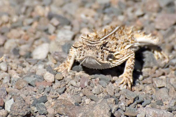 Texanische Krötenechse, Rockhound State Park, New Mexico