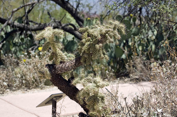 """Chain-Fruit Cholla"", Saguaro National Park (East)"
