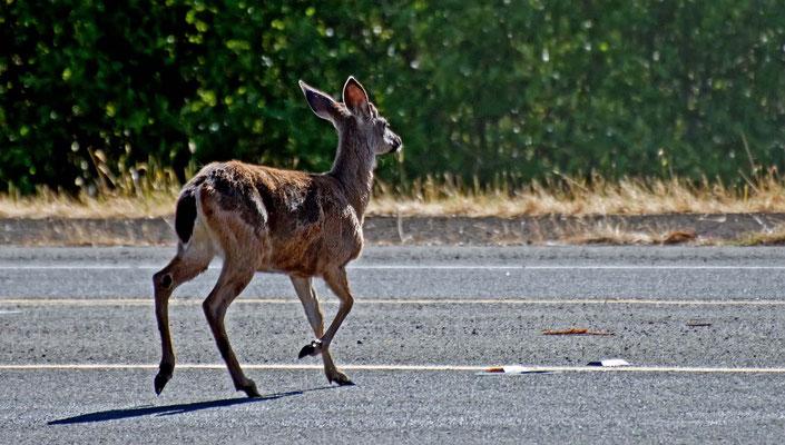 Schwarzschwanz Hirsch, MacKerricher State Park, California