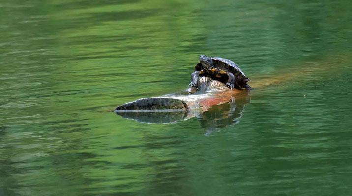 Schmuckschildkröte, Golden Gate Park (Stow Lake), San Francisco