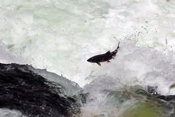 springender Lachs