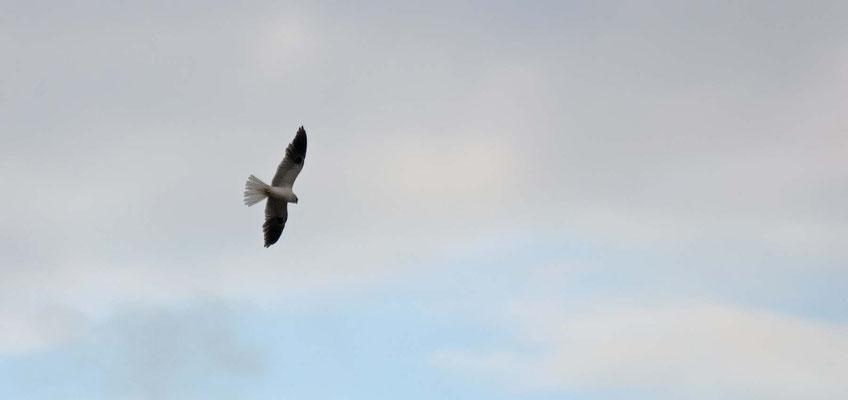 Weißschwanzaar, Salt Marsh, Greenbrae