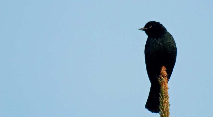 Purpurstaerling ♂, MacKerricher State Park, California