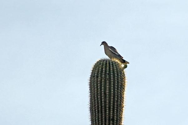 Weißflügeltaube, Catalina State Park