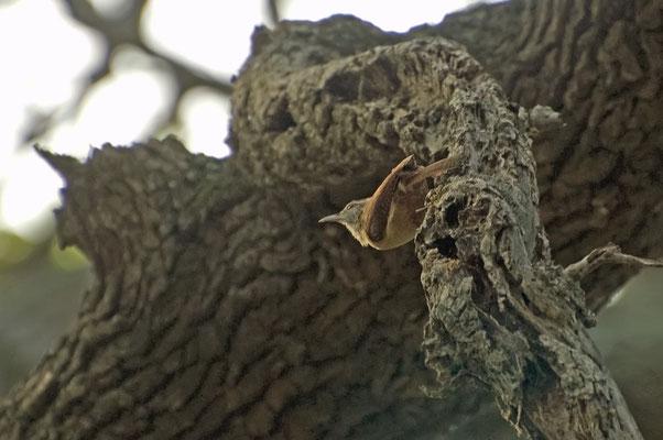 Carolinazaunkönig, Goose Island State Park (Texas)