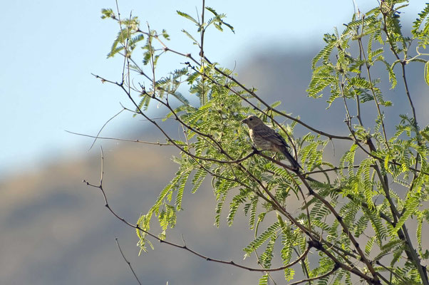 Grasammer ?, Catalina State Park