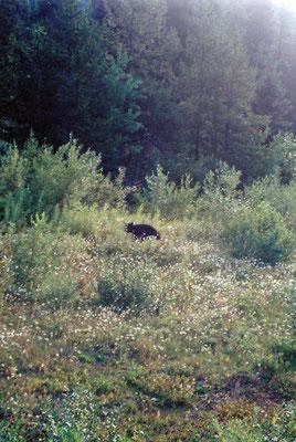 Schwarzbär am Yellowhead Hwy