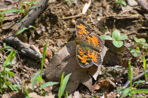 Pearl Crescent (Phyciodes tharos), Black Rock Mountain State Park