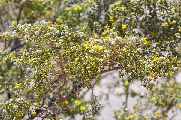 Creosote Bush, Rockhound State Park, New Mexico