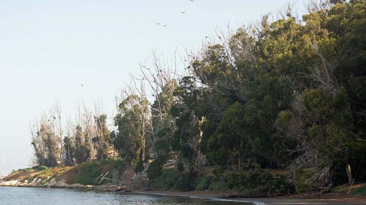 Ohrenscharben Brutkolonie, Morro Bay, California