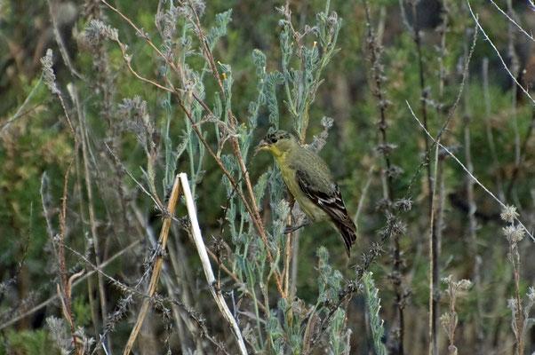 Mexikozeisig ♂, Catalina State Park