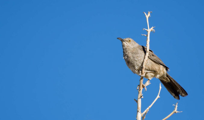 Krummschnabel-Spottdrosse, Rockhound State Park, New Mexico