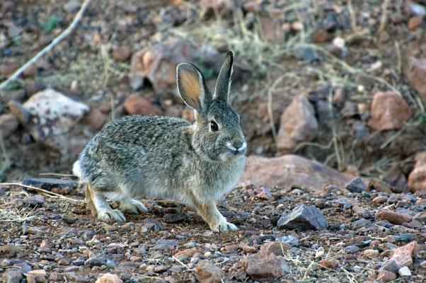 Audubon-Baumwollschwanzkaninchen, Rockhound State Park