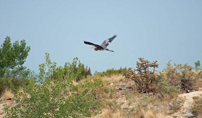 Kanadareiher, Lake Pueblo State Park, Colorado