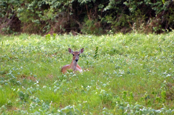 Weißwedelhirsch ♀, Goose Island State Park (Texas)