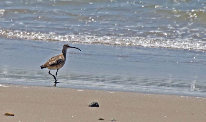 Regenbrachvogel, Guadalupe-Nipomo Dunes (Oso Flaco Lake), California