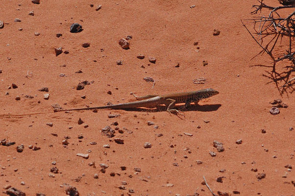 Schienenechse (Whiptail), Horseshoe Bend Observation Area