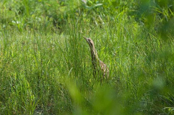 Nordamerikanische Rohrdommel, Hard Labor Creek State Park