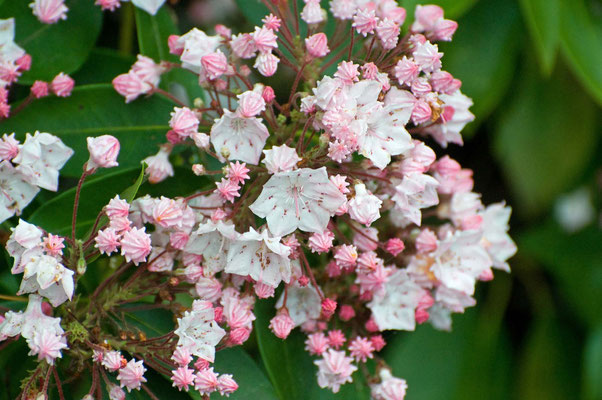 Mountain Laurel, Smith Lake