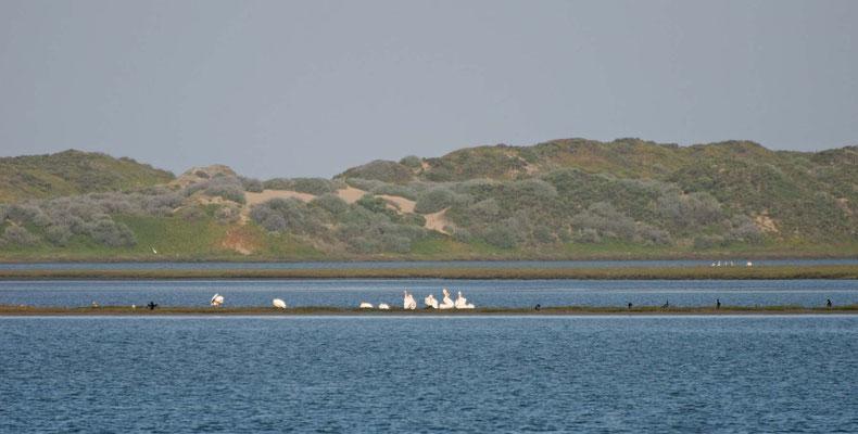 Weiße Pelikane, Morro Bay, California