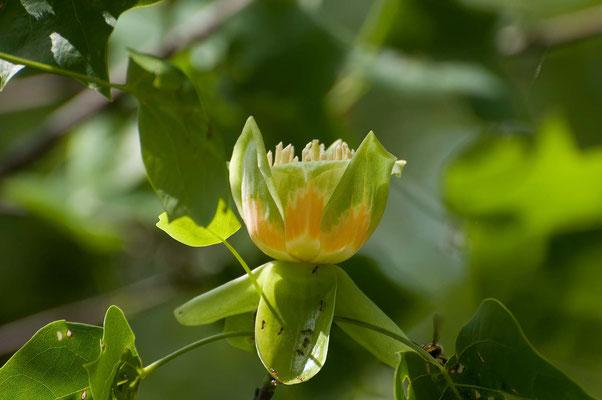 Blüte vom Tulpenbaum, Black Rock Mountain State Park