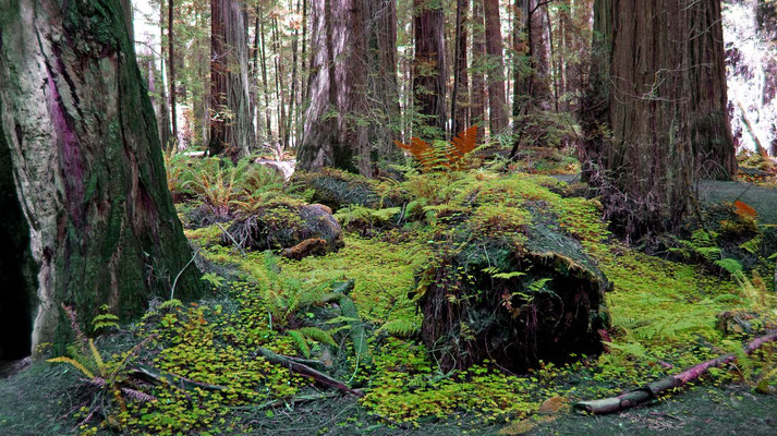 Founders Grove, Avenue of the Giants
