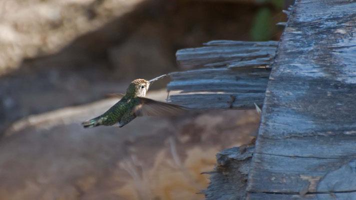 Schwarzkinnkolibri, Point Mugu State Park, Malibu, California