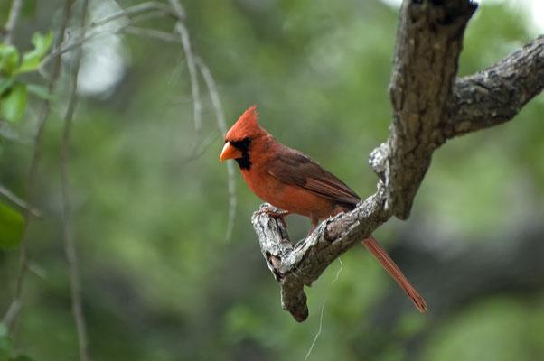 Roter Kardinal ♂, Goose Island State Park (Texas)