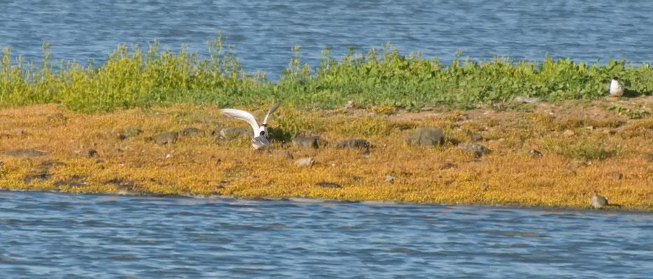 Sumpfseeschwalben, Salt Marsh (Corte Madera Wetlands)